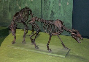 Squelettes de Canis Dirus (loup préhistorique), National Museum of Natural History, Washington, D.C.